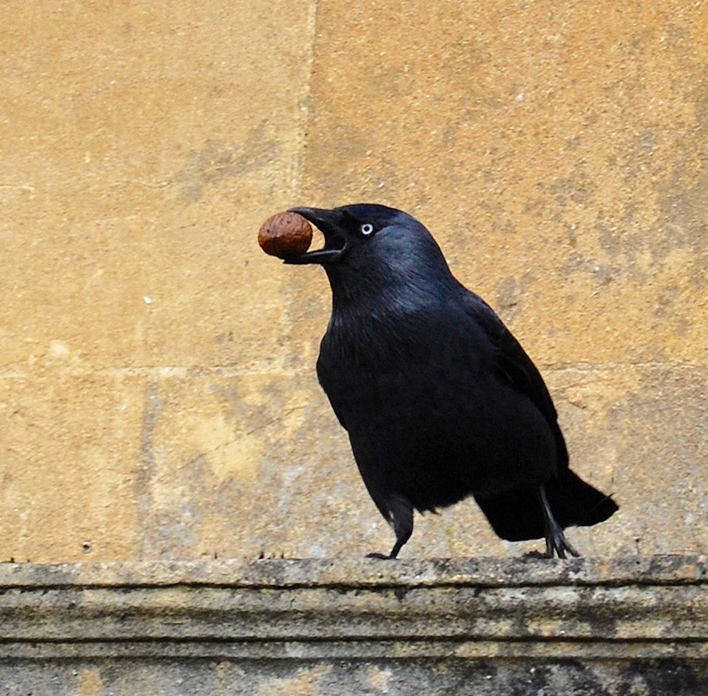 Crow with nut1.jpg